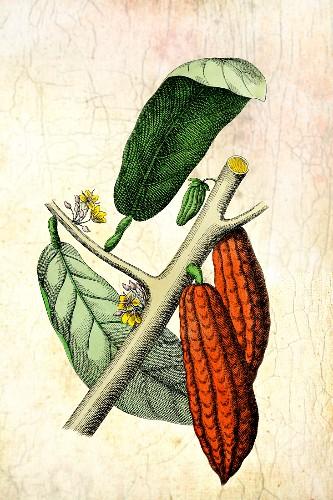 Illustration von Kakaofrüchten und Blättern