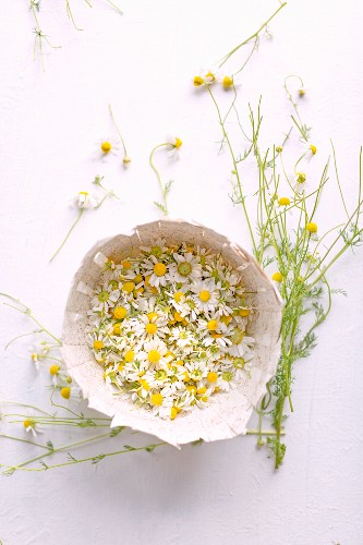 Fresh chamomile blossoms in a cardboard bowl