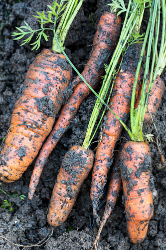 Freshly uprooted carrots (Melton Mowbury, UK)