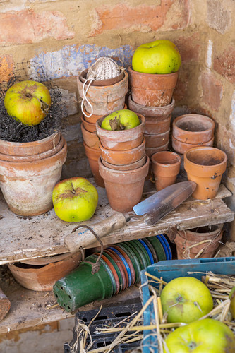 Apples in a garden tool shed Melton Mowbury UK