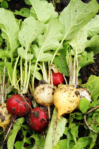 Various types of freshly harvested radishes