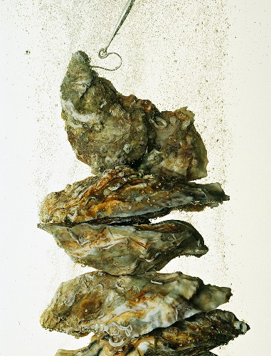 A stack of oysters in water