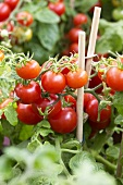 Tomato plant, variety 'Tasty Tom'