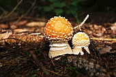 Fly agaric mushrooms in a wood