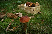 Basket of mushrooms and an orange birch bolete