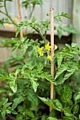 Tomato plants flowering in the garden