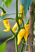 Yellow chilli peppers (variety 'Golden Cayenne') on the plant in the garden