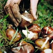 A hand planting alliums in the ground