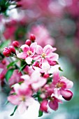 Blossoms on an ornamental apple tree