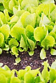 Romaine lettuce growing in the garden