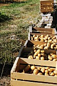 Freshly harvested potatoes in crates in a vegetable garden