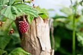Loganberries on a bush