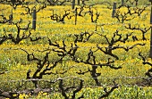 Old vines among mustard flowers in Southcorp, Australia