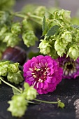 Hops and pompom dahlias