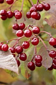 Guelder rose berries on branch (close-up)