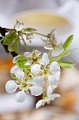 Pear blossom (table decoration, close-up)