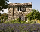 A lavender field and a stone house near Vaison-La-Romaine, Provence