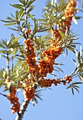 Sea buckthorn bush against blue sky