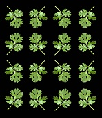 Parsley leaves against a black background