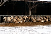 Cattle in a stall being fed