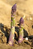Green asparagus emerging through the soil