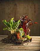Three different types of Swiss chard with soil