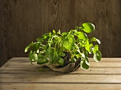 American or land cress on a glove