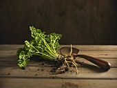 Curly parsley with root, trowel
