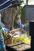 Beekeeper tending beehive