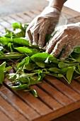 Hands rolling tea laves (Sri Lanka)