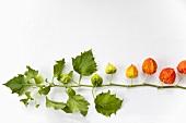 Ein Zweig Lampionblumen vor weissem Hintergrund
