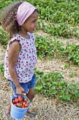 A little girl carrying a bucket of freshly picked strawberries in a strawberry field