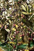 Black olives on a tree in Peruiga, Umbria, Italy