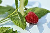 A raspberry with a sprig and leaves