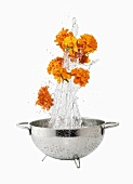 Marigolds being washed in a colander