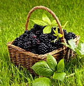 Fresh blackberries in a basket