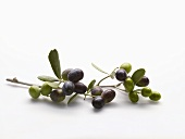 Olive sprig with green and black olives
