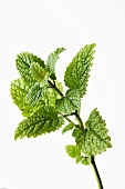 A sprig of lemon balm