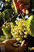 Pickling white wine grapes (variety Grüner Veltliner)