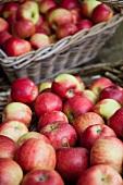 Freshly harvested apples in baskets
