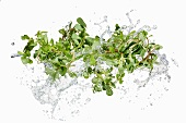 Purslane with a water splash