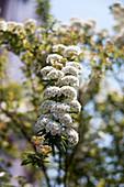 Spiraea on a tree