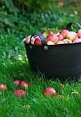 A basket of freshly picked apples