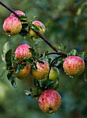 Apples on a tree after rainfall