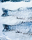 Two bass in salt