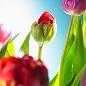 Tulips of various colours