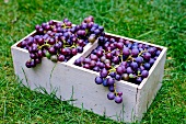 Concord grapes in a wooden basket in a field
