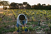 A winegrower breaking out young shoots in the early morning in the le Pic des Combettes vineyard