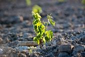 A new planted vines, a little plant with delicate leaves in stony ground