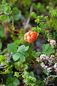 A cloudberry